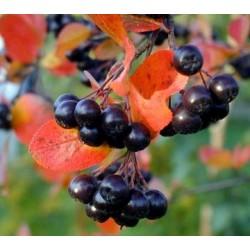 Aronia czarno-owocowa na...