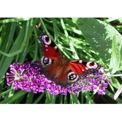 Budleja niebieska motyli...